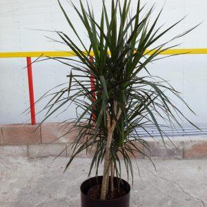 3' Dracaena Marginata Plant