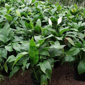 3' Spaths Plant